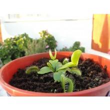 Dyrk Din Egen KØDÆDende Plante